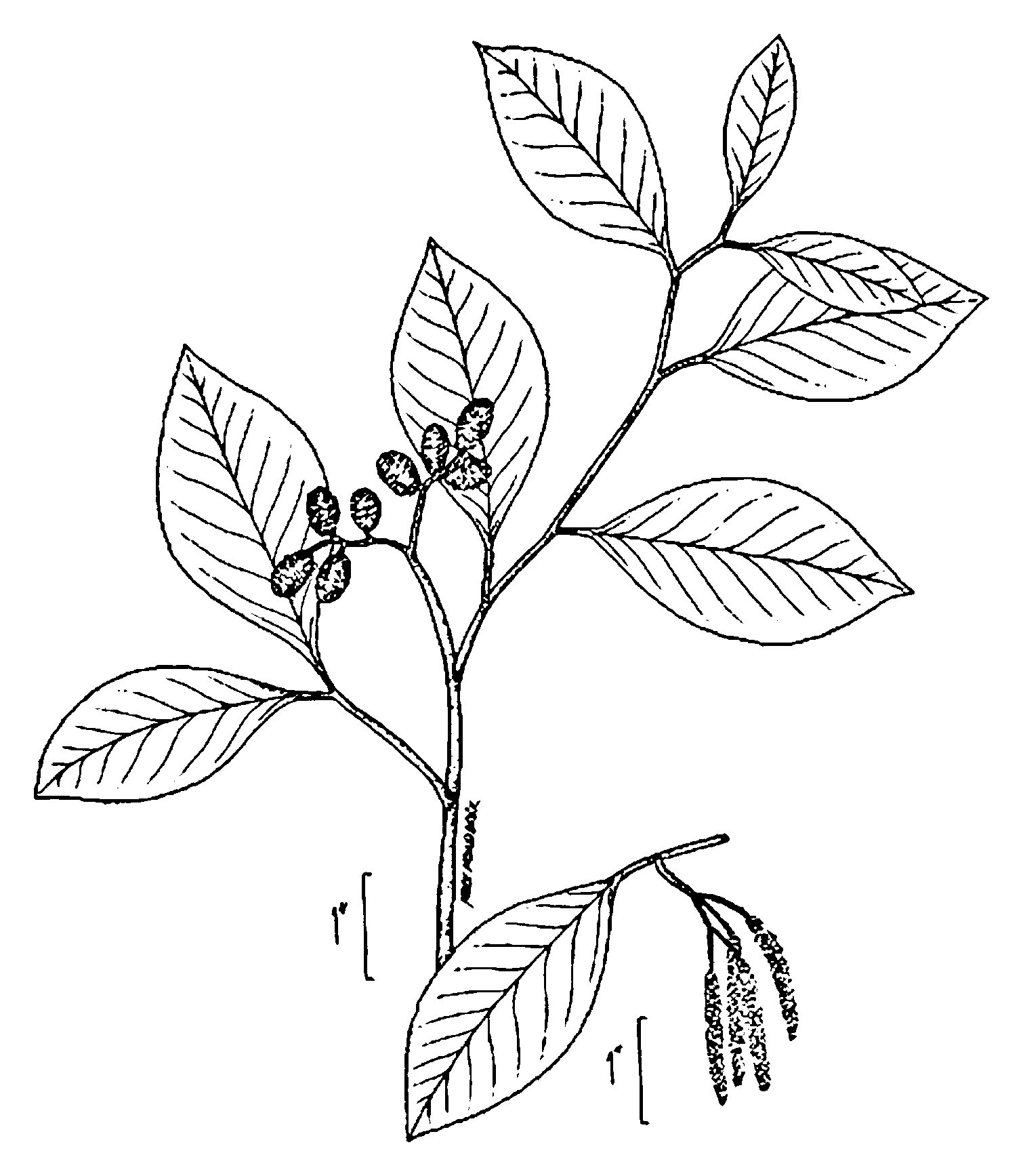 File Alnus Serrulata Drawing