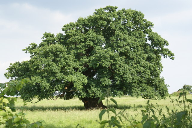 English Oak - geograph.org.uk - 1194077