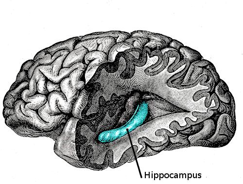 Image result for hippocampus