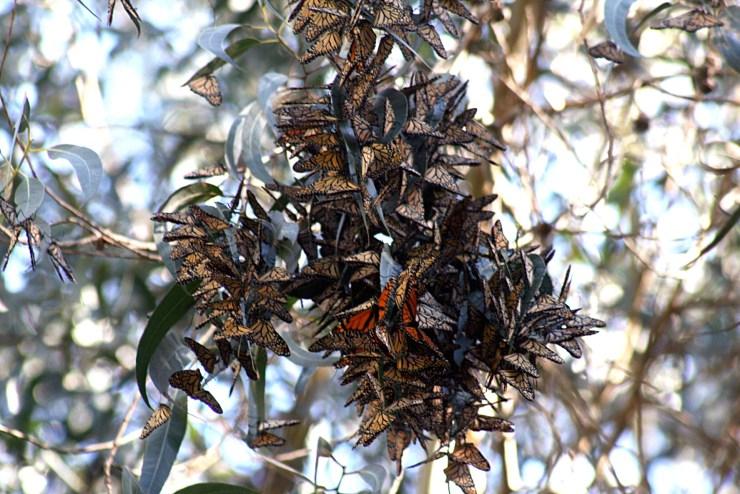 https://i1.wp.com/upload.wikimedia.org/wikipedia/commons/2/2e/Monarch_butterflies_in_Santa_Cruz-11.jpg?resize=740%2C494&ssl=1