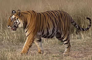 A tiger in India's Bandhavgarh reserve