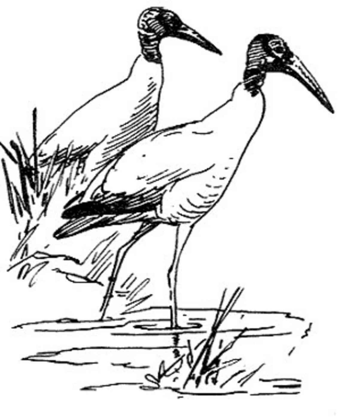 Wood stork birds wading mycteria americana black and white drawing art Fashion Stork