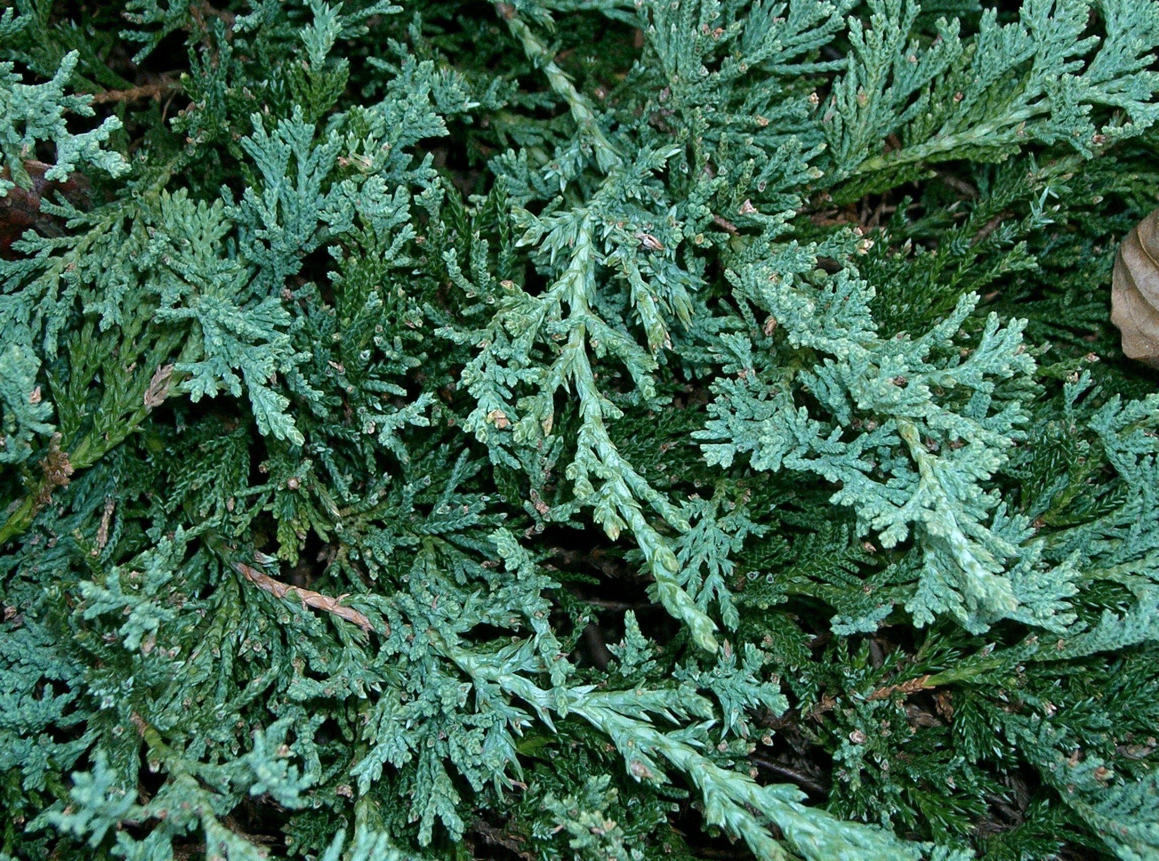 Image result for juniperus horizontalis