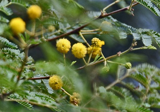 Babool (Acacia nilotica) flowers at Hodal W IMG 1163