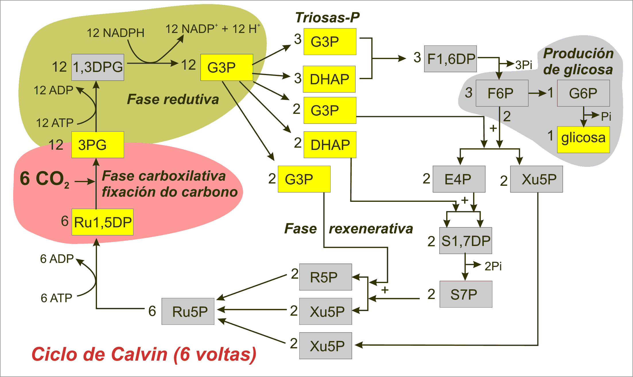 File Calvin Cycle Diagram Miguelferig