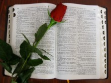 An open Bible with a red rose laid across it, representing the idea to read the Bible every day