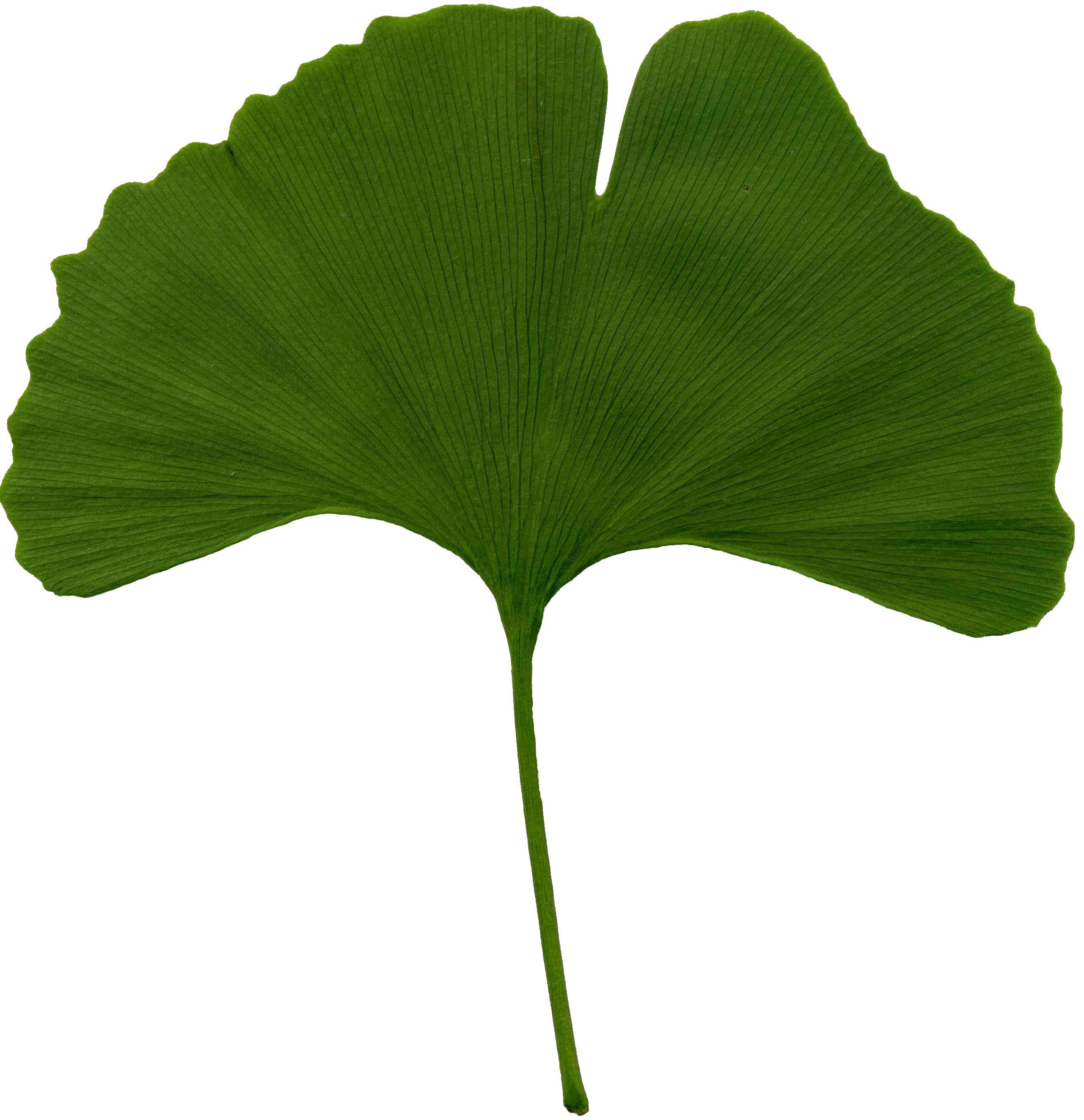 https://i1.wp.com/upload.wikimedia.org/wikipedia/commons/3/32/Ginkgo_biloba_scanned_leaf.jpg