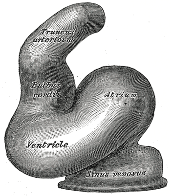 Lithograph from the 20th U.S. edition of Gray's Anatomy of the Human Body, originally published in 1918. License is in the public domain because its copyright has expired.