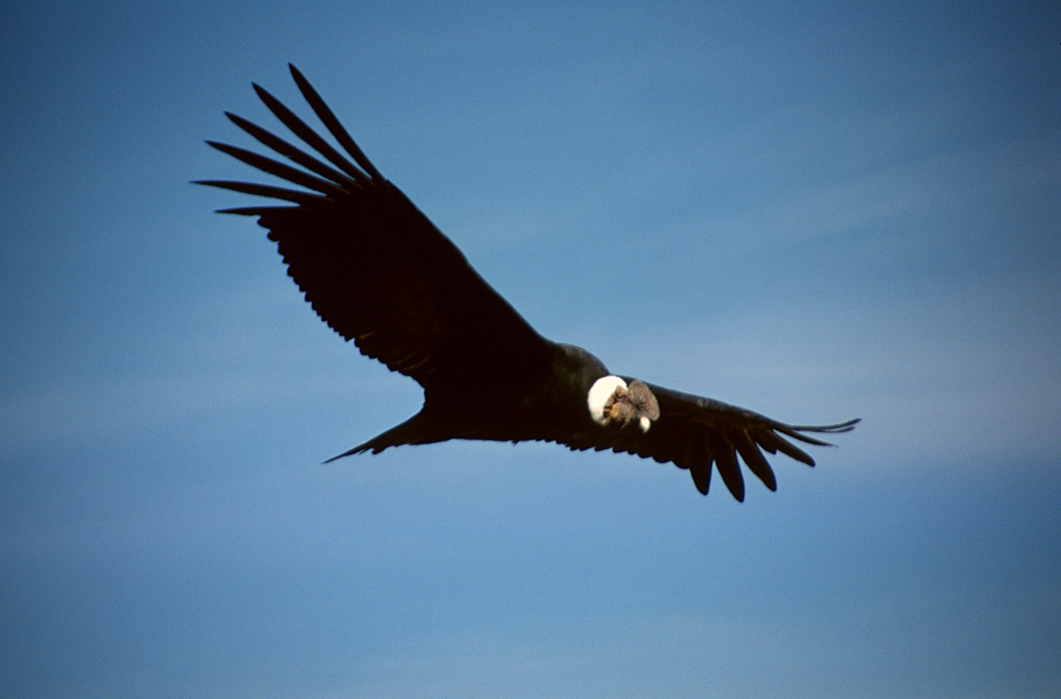 https://i1.wp.com/upload.wikimedia.org/wikipedia/commons/3/33/Colca-condor-c03.jpg