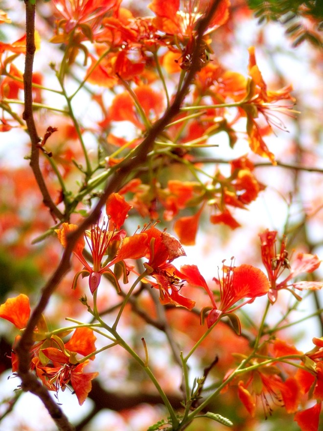 Royal poinciana flowers up close.