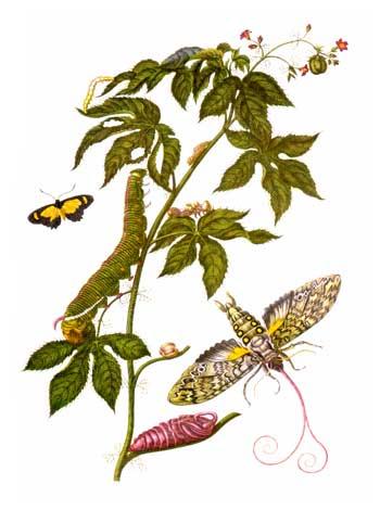 Merian insectes Surinam.jpg