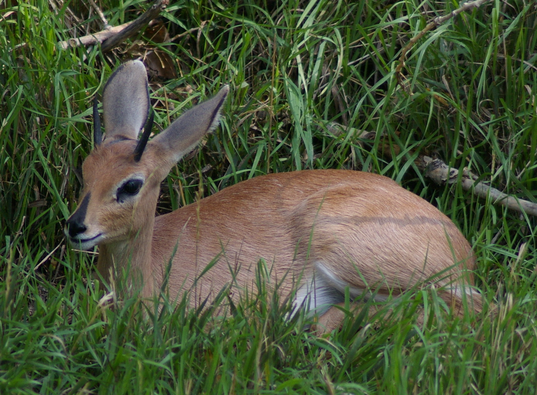 https://i1.wp.com/upload.wikimedia.org/wikipedia/commons/3/33/Steenbok_sitting.jpg
