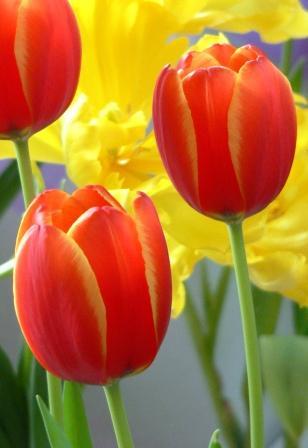 File:Tulip in Beijing Botanical Garden.JPG