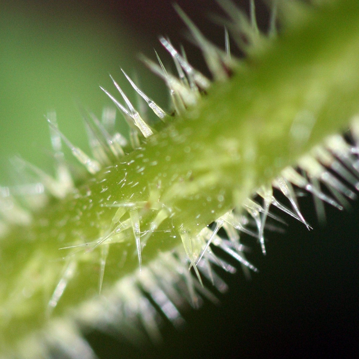 urtica dioica stinging nettle hairs spines spikes needles thorns