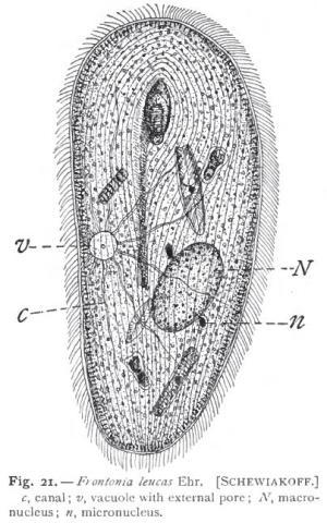 Holotricha  Wikipedia
