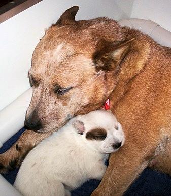 File:Australian Cattle Dog puppy.jpg