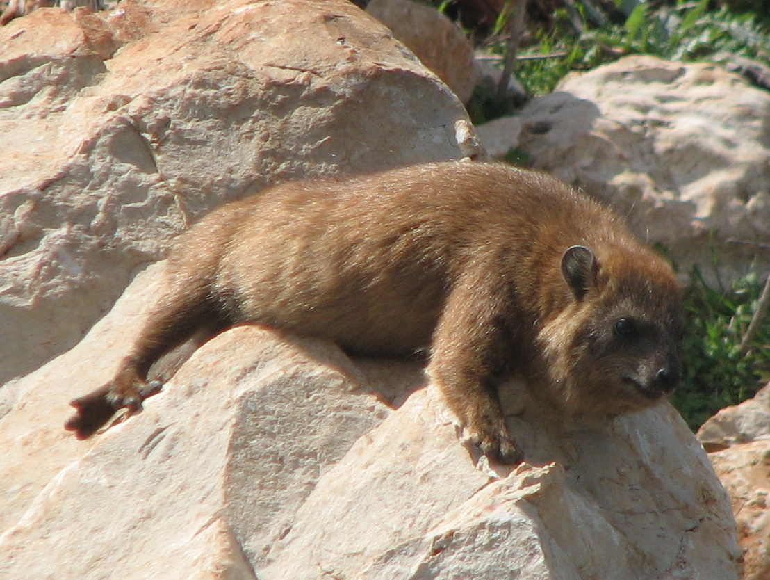 A rock hyrax basking in the sun by Arikk