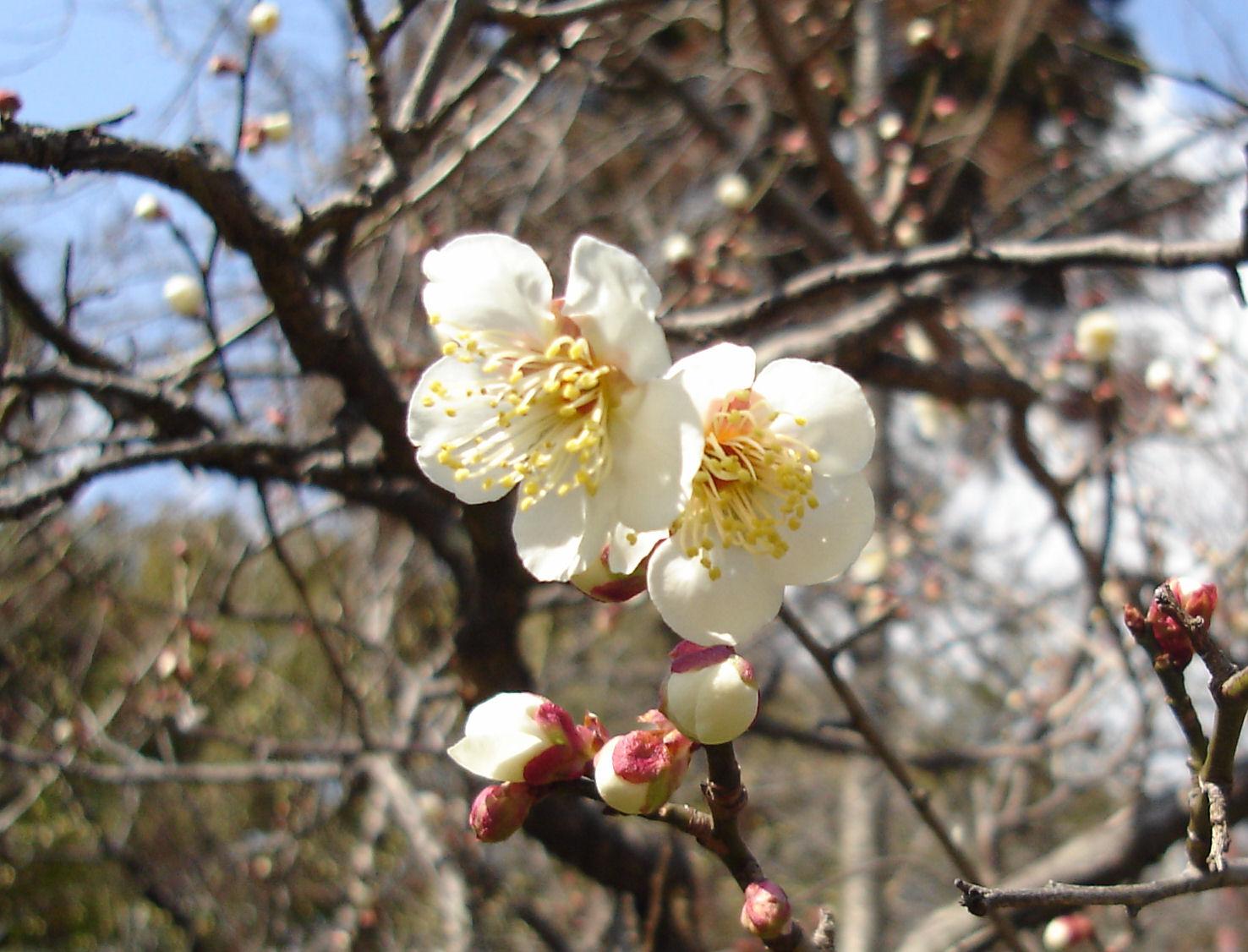 Japanese Plum Blossom