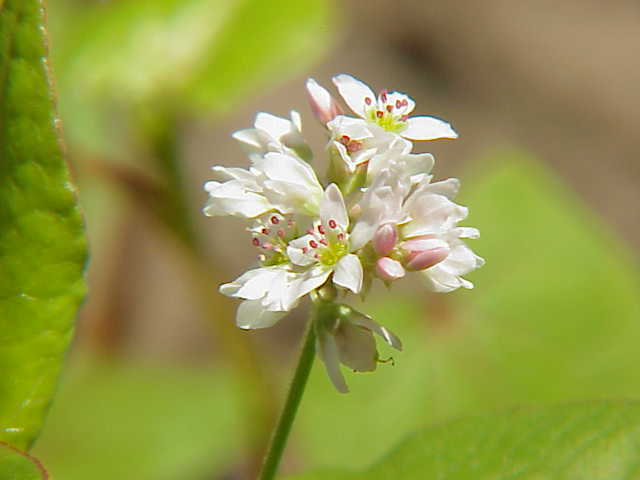 Fagopyrum Esculentum Edible Buckwheat flowers