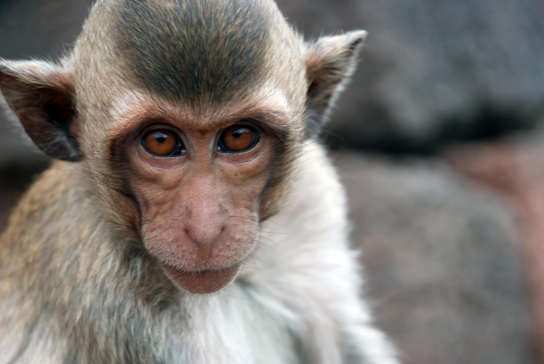 El macaco cangrejero, con el cual se han realizado los experimentos.