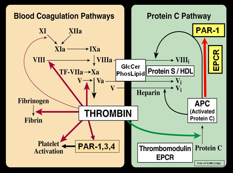 Blood Coagulation (Thrombin) and Protein C Pat...