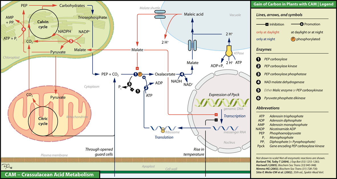 Biochemistry of CAM