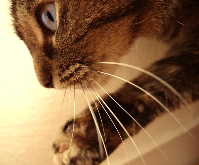 Cats_whiskers