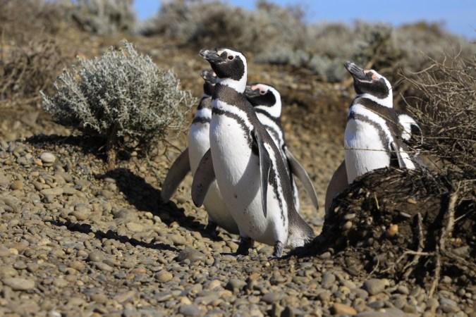 Pingouin de Magellan