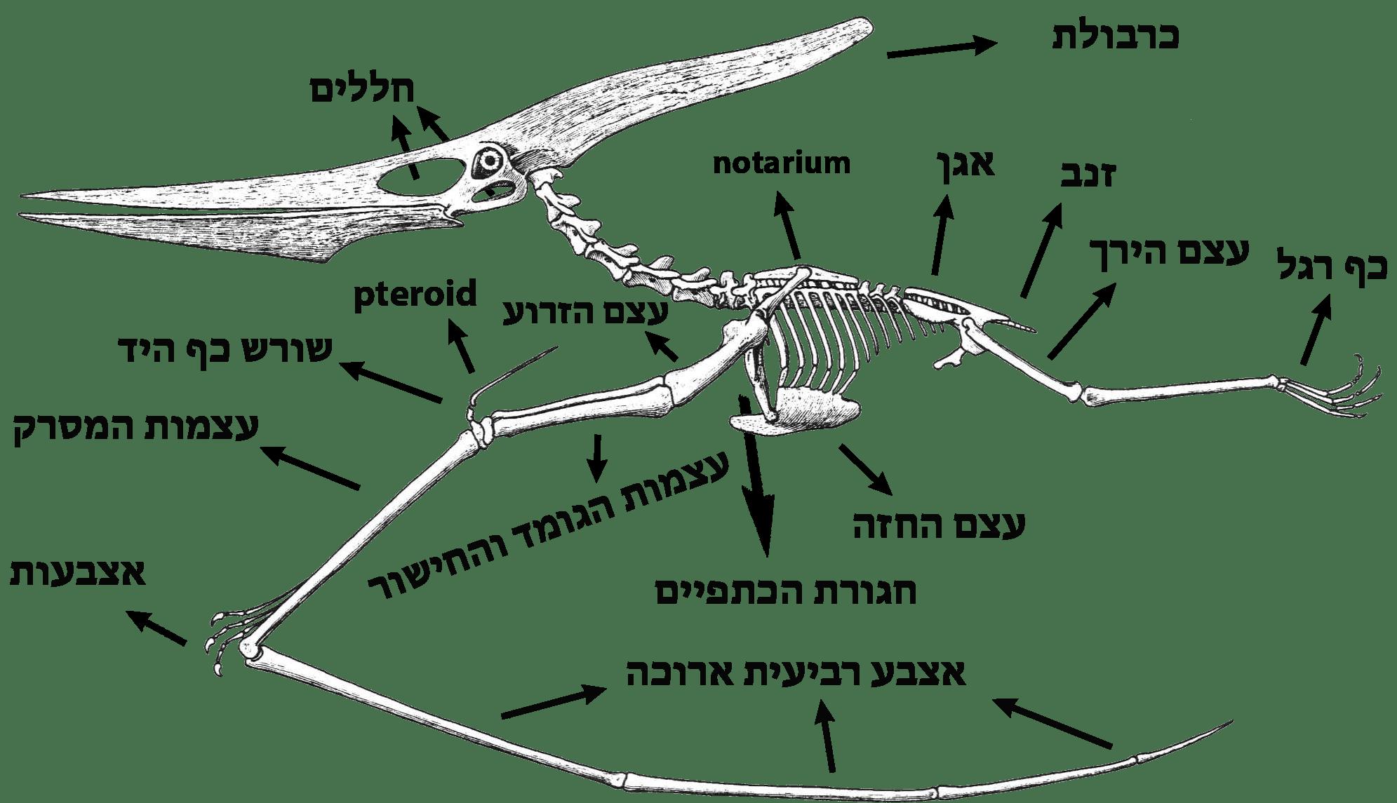 File Anatomy Of Pteranodon Hebrew