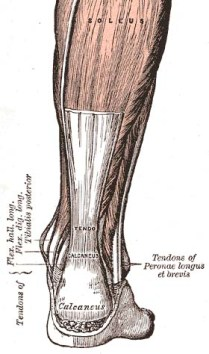 The Achilles' tendon. PD image from Gray's Ana...