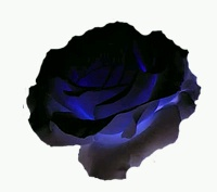 English: The black rose is for those who don't...