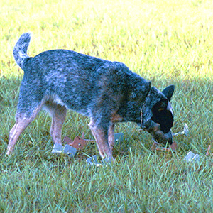 "English: Australian Cattle Dog doing the ""..."