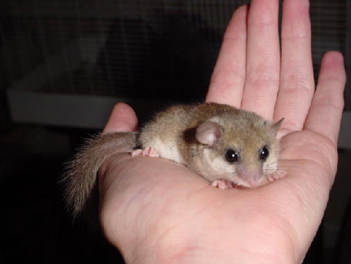 File:Dormouse on hand.jpg