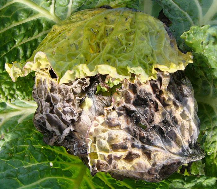 Hyaloperonospora Brassicae Wikipedia