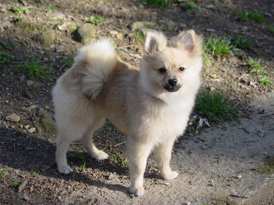 Pomeranian dog Good Dog Food For Pitbull Puppies