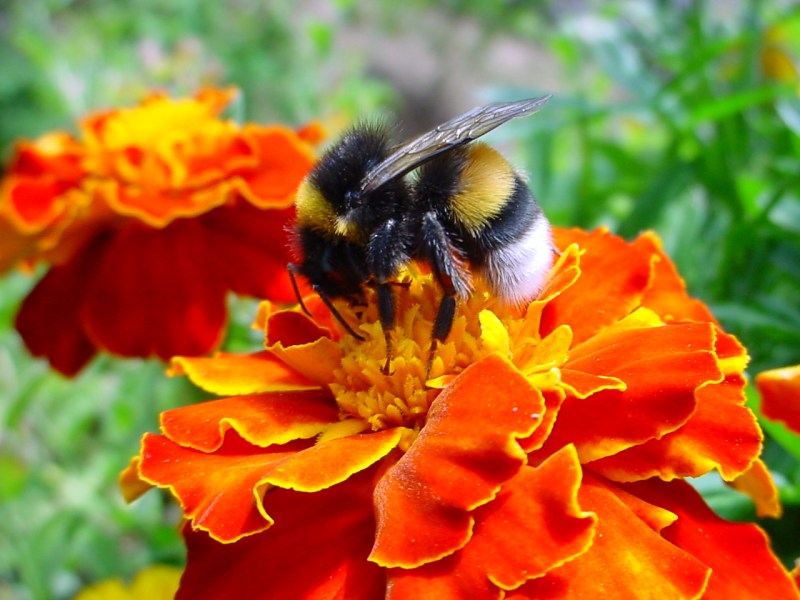 File A bumble bee on a flower jpg   Wikimedia Commons File A bumble bee on a flower jpg