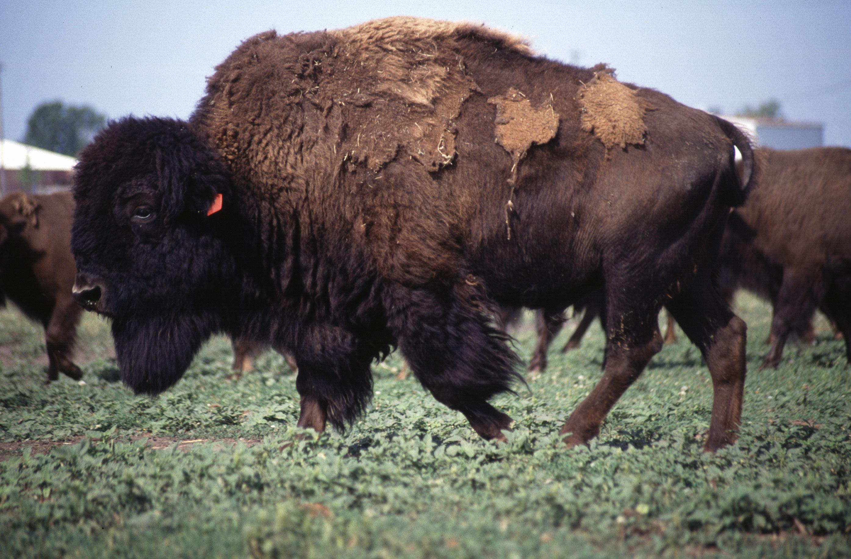 File American Bison