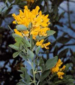 Cytisus aeolicus.jpg