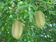 Fruit pods of F. australis