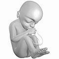Fetus at 18 weeks after fertilization 3D Pregn...