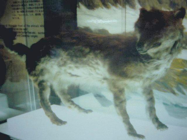 File:エゾオオカミ剥製・開拓記念館19840914.jpg
