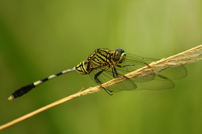 Berkas:Army dragonfly.jpg