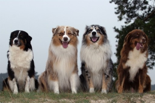 tri-color Australian shepherd dog, red merle Australian shepherd dog, blue merle Australian shepherd dog, red Australian dog shepherd dog