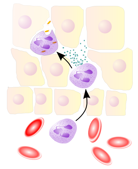 Neutrophil granulocyte migrates from the blood...