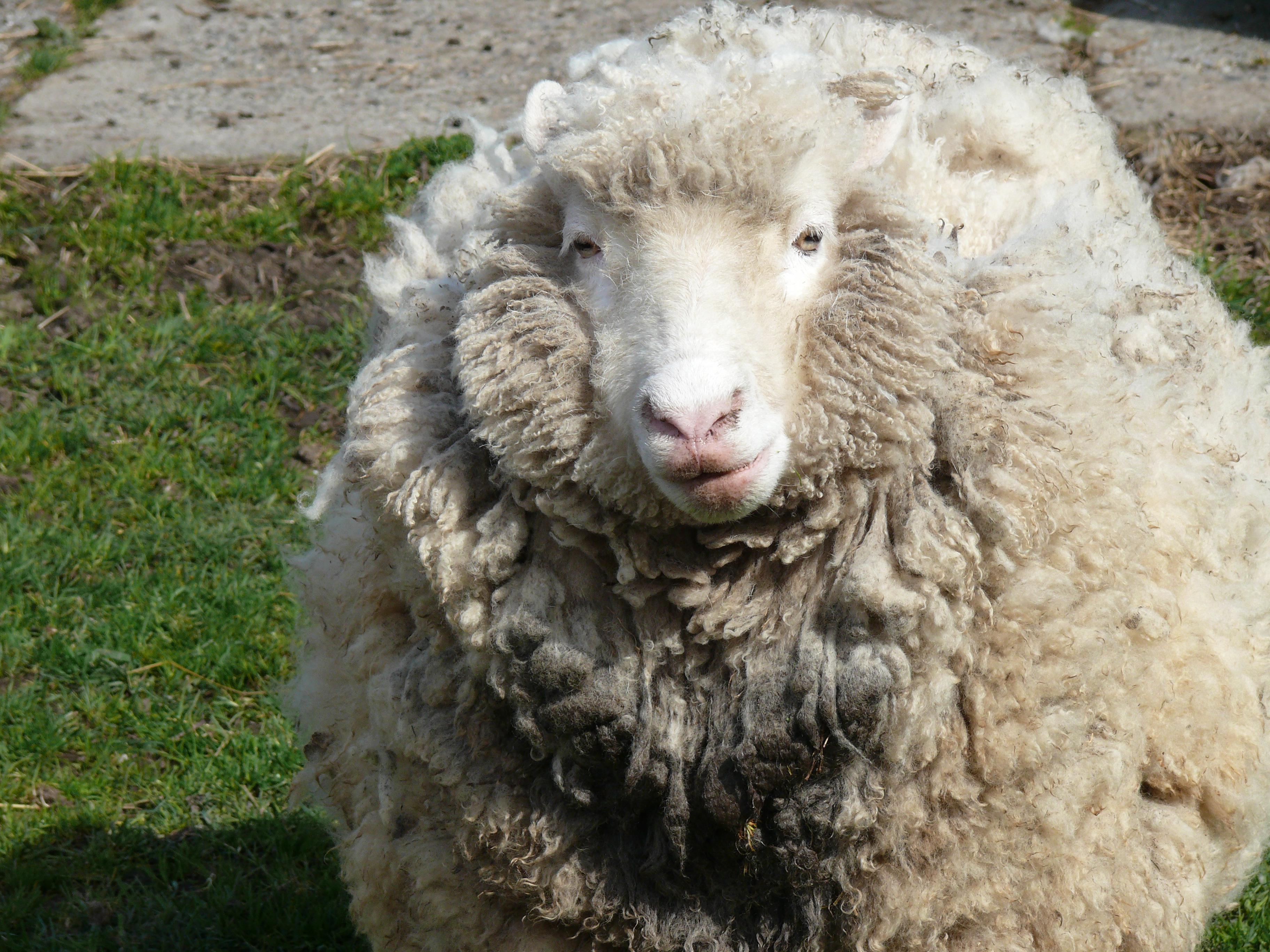 File Wooly Sheep Front