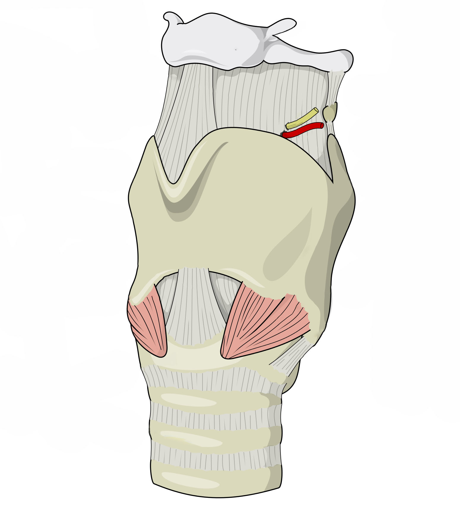 File Larynx Anterolateral View Unlabeled