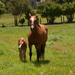 File Big Horse Baby Horse At Whenuapai West Auckland Nz 12096056075 Jpg Wikimedia Commons