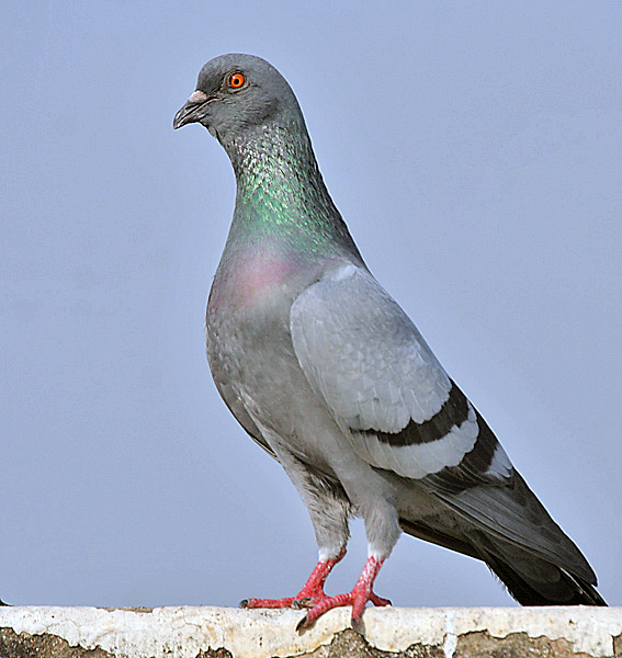 Rock Pigeons: Rats with Wings or Thoroughbreds of the Air? (5/5)