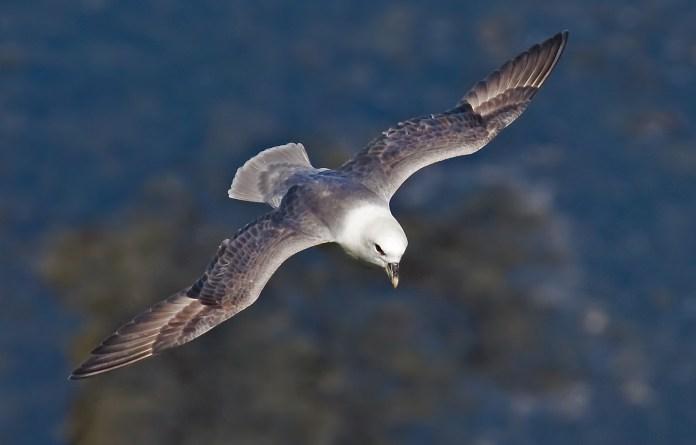 Fulmarus glacialis (Helgoland)