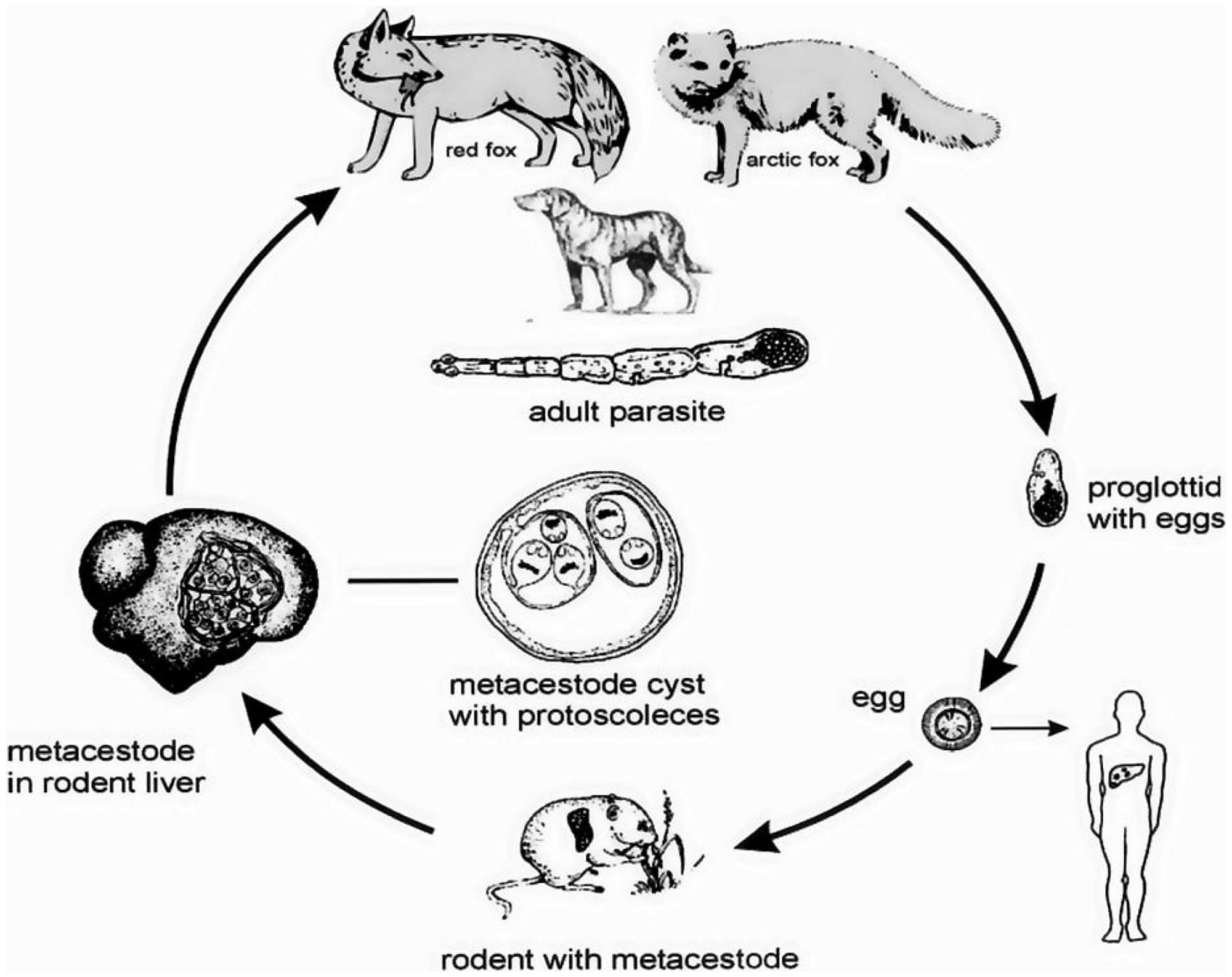 Fail The Life Cycle Of Echinococcus Multilocularis